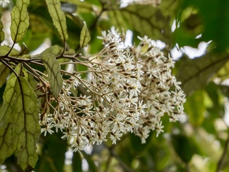 "The ""Halley's comet"" of the plant world is flowering at ZEALANDIA"