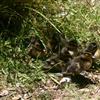 Ducklings at ZEALANDIA