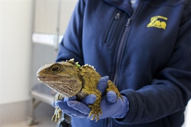 Injured Tuatara Returned to ZEALANDIA After Treatment at Wellington Zoo