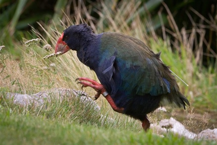 Happy Takahē Awareness Month!