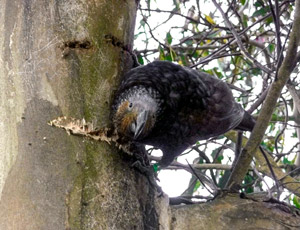 Sweet-beaked kākā find tree-sap irresistible