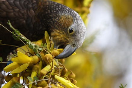 Why we don't sell kākā food