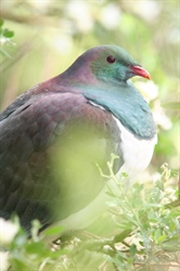 The Great Kererū Count