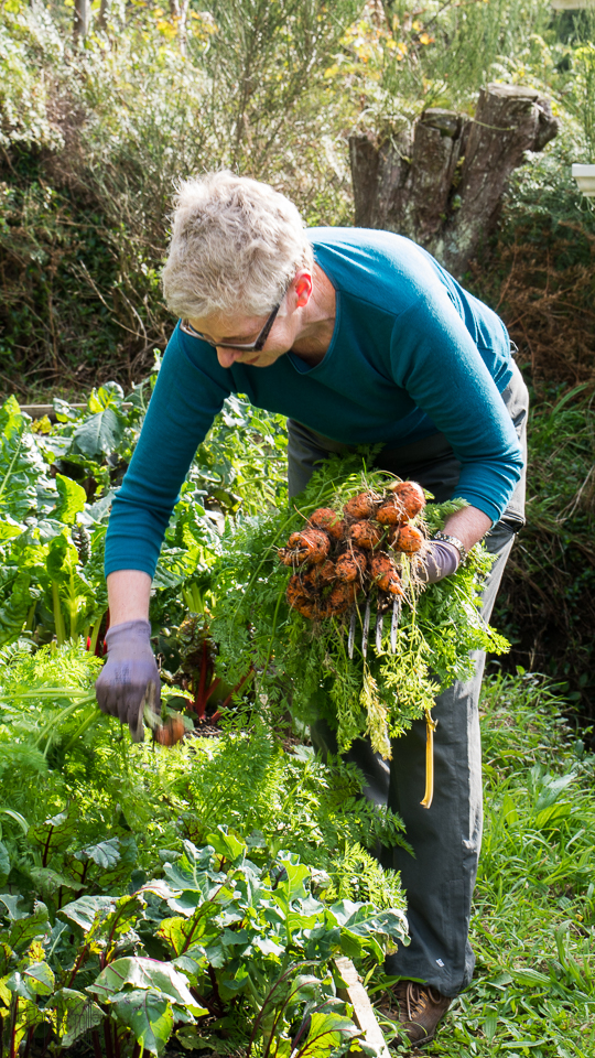 Volunteer harvests carrots from garden, by Judi Lapsley Miller