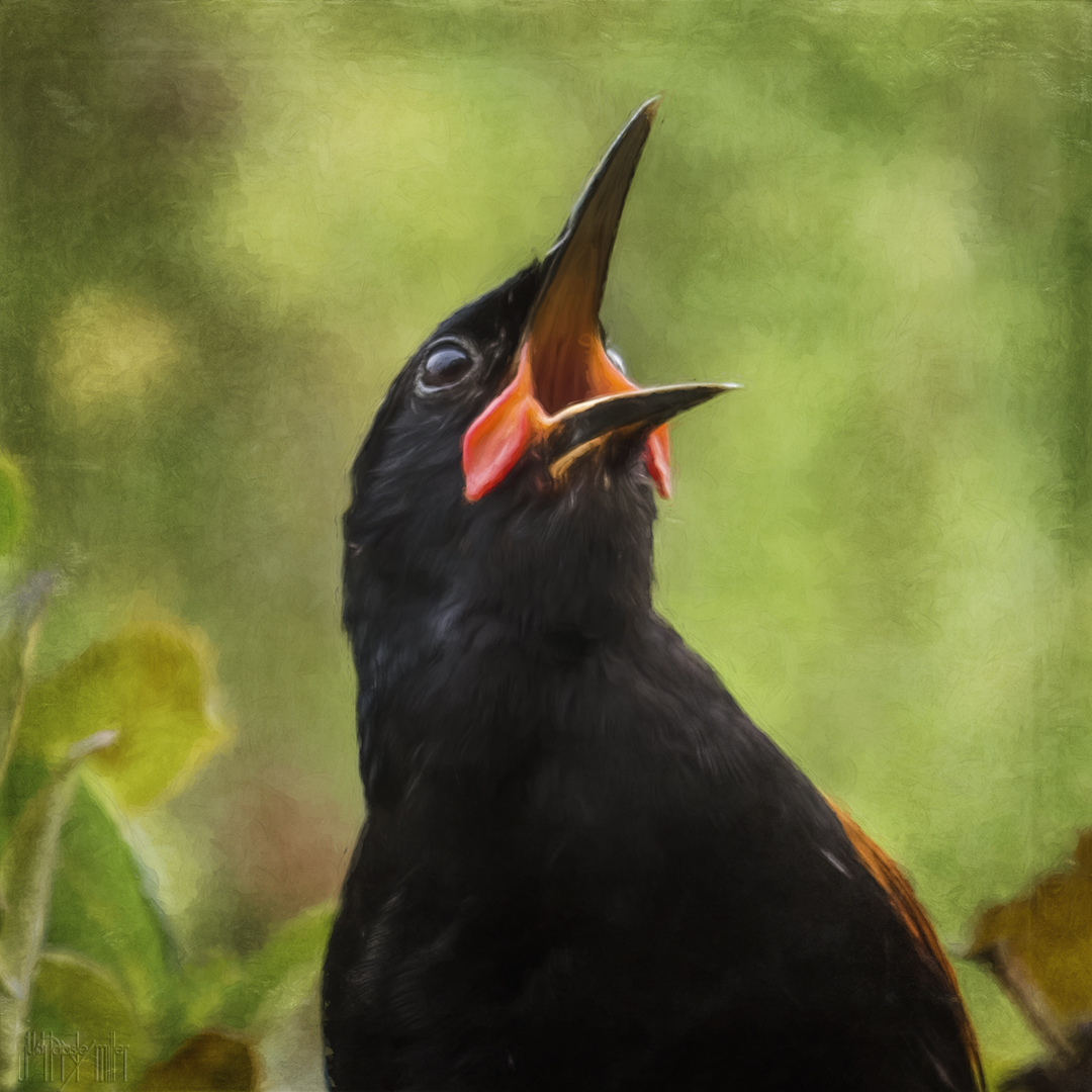 Tīeke / saddleback singing, photo-art by Judi Lapsley Miller